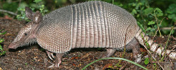 Armadillo removal service in Florida