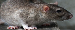 Mouse and rat removal company in Florida