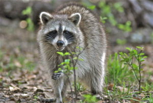 Florida Raccoon Trapping and Removal