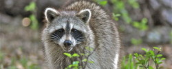 Raccoon removal service in Florida