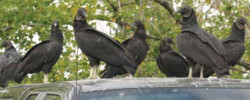 Vulture removal company in Florida